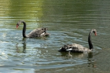 Black swans back to Bykovo Boloto Pond